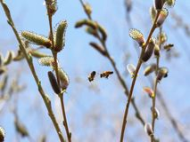 Two bees are flying in the trees. Royalty Free Stock Photo