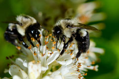 Two Bees Gathering Pollen from a White Flower Stock Photo