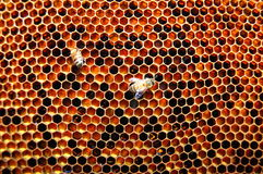Two bees on honeycomb Stock Photos