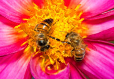 Two bees looking for nectar. On a purple and yellow flower Stock Photos