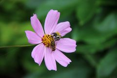 Two bees on the pale pink flower Stock Photo