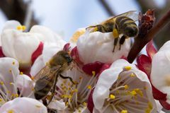 Two bees pollinate apricot blossoms in the spring royalty free stock photography