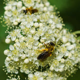 Two bees on a rowan truss Stock Photography