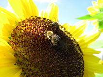 Two bees are sitting on the sunflower Royalty Free Stock Image