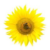 Two bees on a sunflower. Object on the white background Stock Photo
