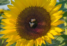 Two bees on a sunflower Royalty Free Stock Photos