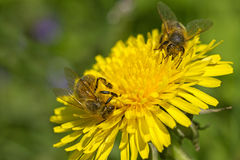 Two bees are working for honey. Royalty Free Stock Photography
