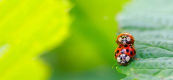 Two beetle ladybug copulate on the edge of a green leaf royalty free stock image