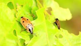 Two beetles. Encounters on a oak leaf stock video footage