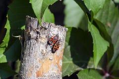 Two beetles of firebug sit on a wooden peg. Pyrrhocoris apterus Royalty Free Stock Photos