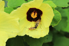 Two Beetles Mating on a  Flower Royalty Free Stock Photo