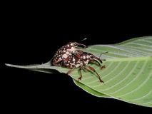 Two beetles mating on a leaf Stock Images