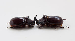 Two beetles of rhinoceros Stock Photos