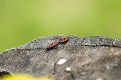 Two beetles. Two red beetles in the park Stock Photos