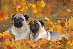 Two beige pugs lying in colorful autumn leaves Royalty Free Stock Photos