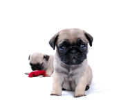 Two beige puppies Mopsa play with a knitted red flower. On a white background Royalty Free Stock Images