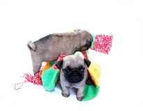 Two beige puppies Mopsa play about sherstyany a plaid. On a white background Stock Photo