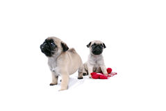 Two beige puppies Mopsa play. Two beige puppies Mopsa on a white background. One sits with a red floret, and another leaves with highly raised head Stock Photo