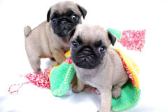 Two beige puppies Mopsa play with a woolen plaid. On a white background Royalty Free Stock Image