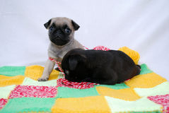 Two beige puppies Mopsa play with woolen threads. The beige puppy Mopsa sits and looks forward, and the black puppy of a pug lies and gnaws woolen threads on a Stock Images