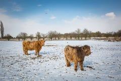 Two Beige Yaks on Snow Terrain Royalty Free Stock Photo