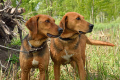 Two Belarusian hound dogs Stock Photos