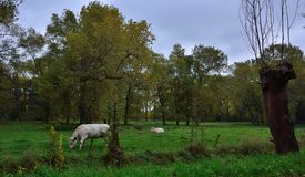 Two Belgian cows grazing in a typical field in rural flanders. Royalty Free Stock Images
