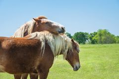 Free Two Belgian Draft Horses Grooming Each Other Stock Photo - 115268430