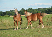 Two Belgian Mares Royalty Free Stock Photos