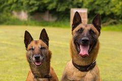 Two Belgian sheepdogs Stock Image