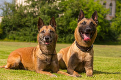 Two Belgian sheepdogs 2 Royalty Free Stock Images