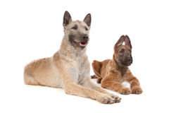 Two Belgian shepherd dogs Stock Photo