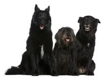Two Belgian shepherd dogs and a Mixed-breed dog Stock Images