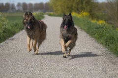 Two Belgian Shepherd Tervuren dogs running outside. Two Belgian Shepherd Tervuren dogs running over a path stock photography
