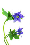 Two bellflowers Stock Photography