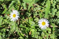 Two Bellis Perennis with grass.  Stock Photo