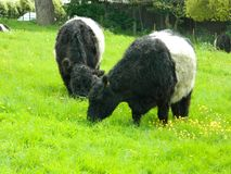 Belted Galloway cows grazing on Petersham Meadows in Richmond London. These good natured, hardy animals are naturally without horns and have a characteristic royalty free stock photography