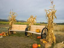 Two benches among stalks and gourds. Two wooden benches is by corn stalks and gourds and pumpkins Stock Images