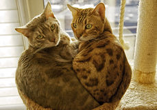 Two Bengal cats in a cuddling position. 