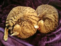 Two Bengal cats curled up. Two sleeping Bengal cats Curled up on a bed Royalty Free Stock Photography