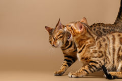 Two Bengal Cats Hissing Stock Photo