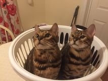 Two Bengal cats in a laundry basket. Two Bengal cats looking up out of a basket Stock Photo