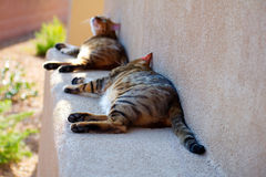 Two bengal cats lying down and relaxing outside. On a stucco ledge. The picture is representative of animals, pets, companionship, outdoors, relaxation Stock Images