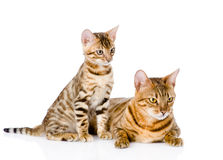 Two bengal cats. mother cat and cub looking away. isolated Stock Photos