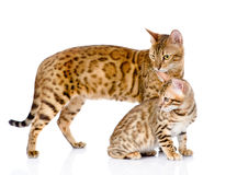 Two bengal cats. mother cat and cub looking away.  Royalty Free Stock Image