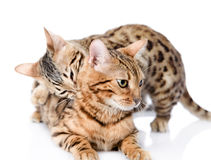 Two Bengal cats (Prionailurus bengalensis). Stock Images