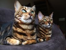 Bengal cat: Two bengal cats sitting next to each other looking same way Royalty Free Stock Photos