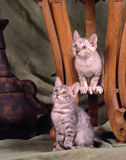 Two bengal kittens Royalty Free Stock Image