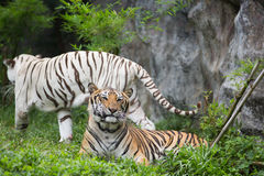 Two Bengal Tiger in forest Royalty Free Stock Photography