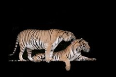 Two bengal Tiger in forest show head. And leg stock photography